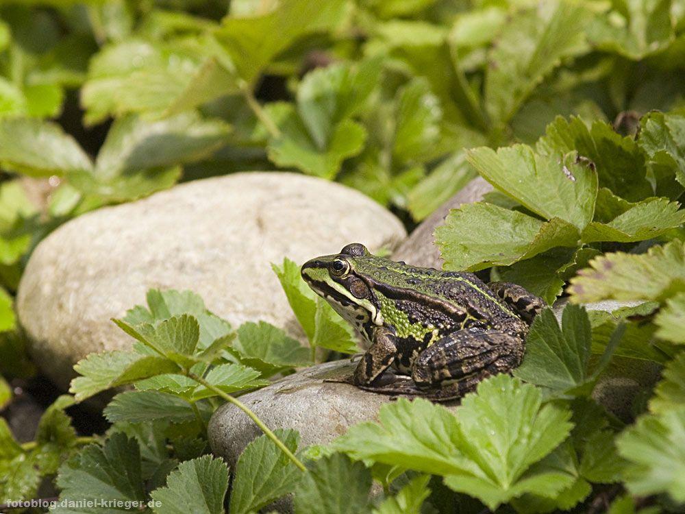 frosch1.jpg