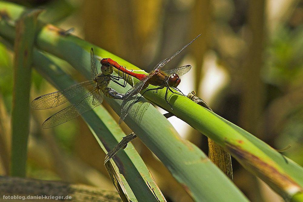 libellensex.jpg