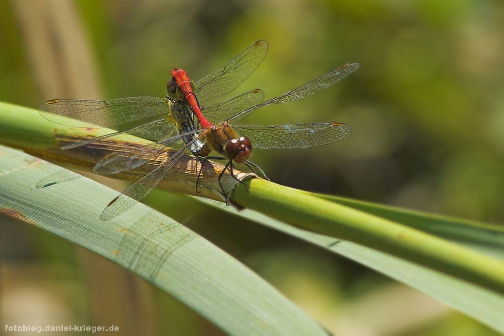 libellensex2.jpg