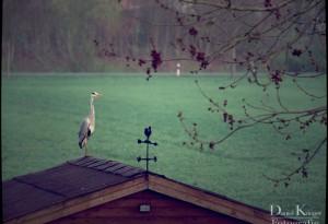 Fischreiher-IMG_5871